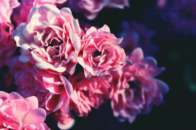 Uses of your Garden Roses
